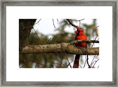 Majestic Cardinal Framed Print by Kimberly Mackowski