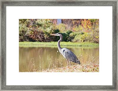 Majestic Great Blue Heron In Autumn Framed Print