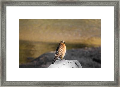 Majestic Hawk 2 Framed Print by Shelby  Young