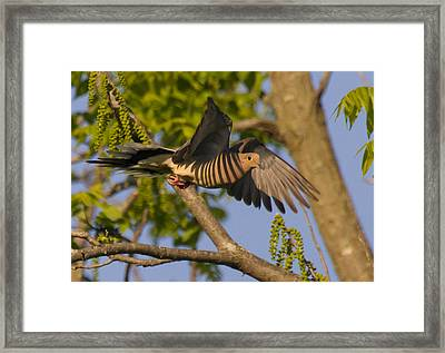 Majestic Mourning Dove  Framed Print by David Lester