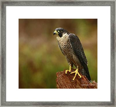 Majestic Peregrine Falcon In The Rain Framed Print by Inspired Nature Photography Fine Art Photography