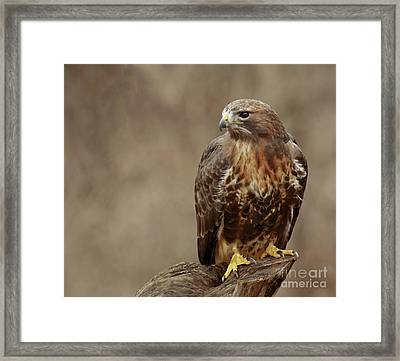 Majestic Redtailed Hawk Framed Print