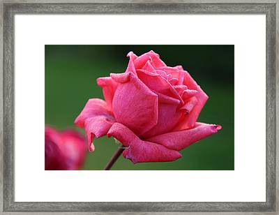 Majestic Rose Framed Print by Michael Williams