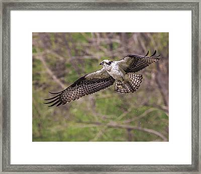 Majesty In Flight Framed Print