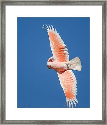 Major Mitchell's Cockatoo In Flight Framed Print by Avian Resources