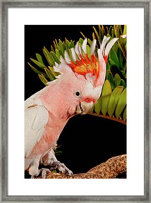Major Mitchell's Cockatoo, Lophochroa Framed Print