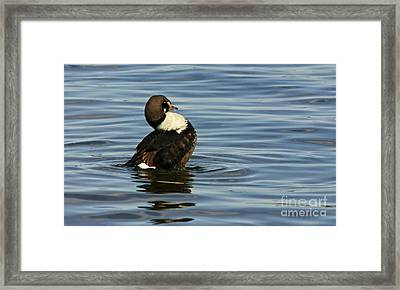 Making Waves King Eider Duck Framed Print