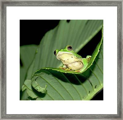 Malabar Gliding Frog Framed Print by K Jayaram