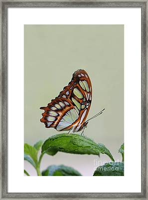 Framed Print featuring the photograph Malachite Butterfly #5 by Judy Whitton