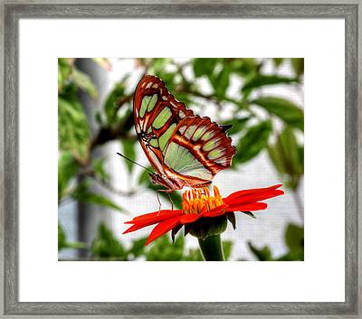 Malachite Butterfly On A Mexican Coneflower Framed Print