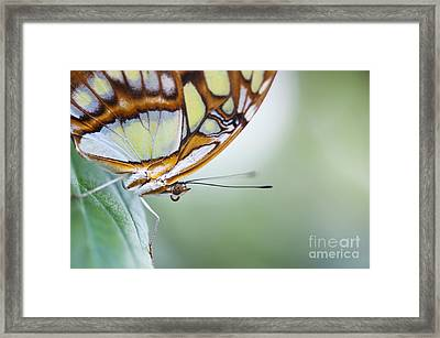 Malachite Butterfly Framed Print by Tim Gainey