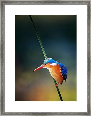 Malachite Kingfisher Framed Print by Johan Swanepoel