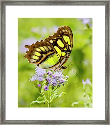 Malachite (siproeta Stelenes Framed Print by Larry Ditto