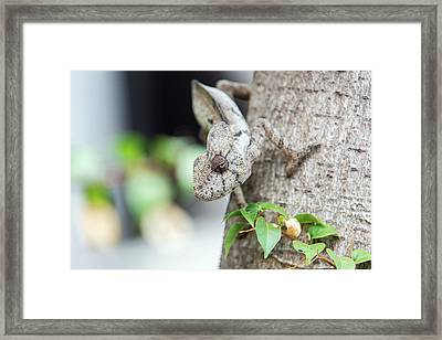 Malagasy Giant Chameleon Framed Print by Dr P. Marazzi