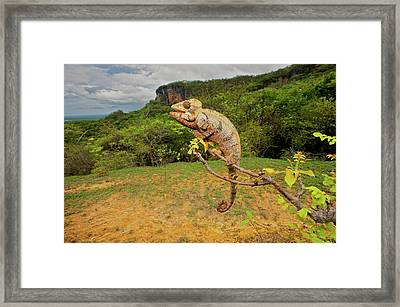 Malagasy Giant Madagascar Or Oustalet's Framed Print by Andres Morya Hinojosa