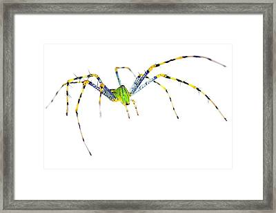 Malagasy Green Lynx Spider Framed Print by Alex Hyde