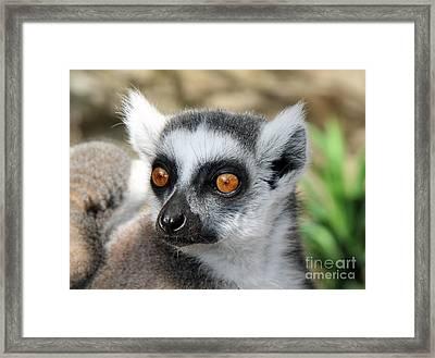 Malagasy Lemur Framed Print by Sergey Lukashin
