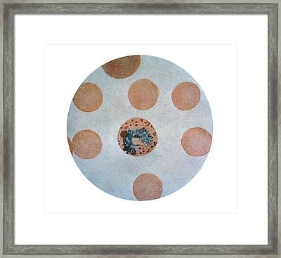 Malaria Parasite In Red Blood Cell Framed Print by Science Photo Library