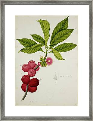 Malay Apple Framed Print by British Library