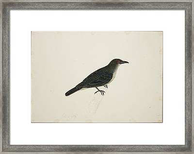 Malay Glossy Starling Framed Print