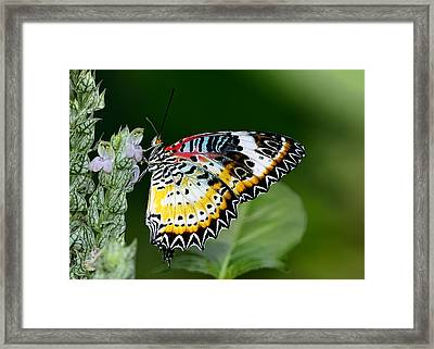 Malay Lacewing Butterfly Framed Print