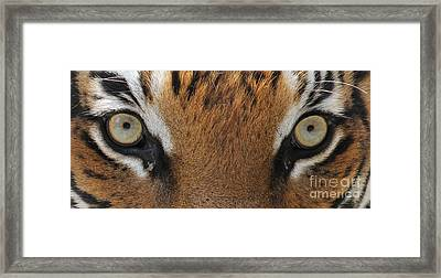 Malayan Tiger Eyes Framed Print