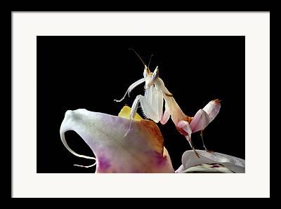 Hymenopus Framed Prints