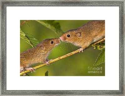 Male And Female Harvest Mice Framed Print by Jean-Louis Klein and Marie-Luce Hubert