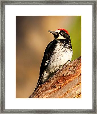 Male Acorn Woodpecker Framed Print