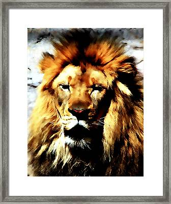 Male African Lion 2 Framed Print by Jennifer Muller