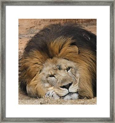 Male African Lion Framed Print by Cathy Lindsey