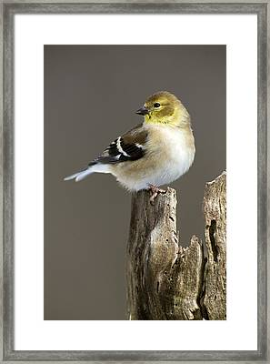 Male American Goldfinch Framed Print by Gerald Marella