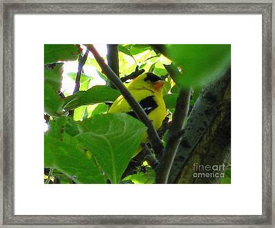 Male American Goldfinch Framed Print by J McCombie