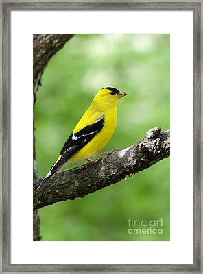 Male American Goldfinch Framed Print by Thomas R Fletcher
