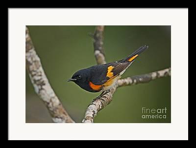 Jamaican Fauna Framed Prints