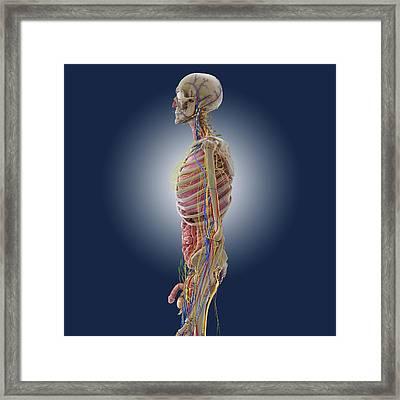 Male Anatomy, Artwork Framed Print by Science Photo Library
