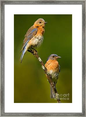 Male And Female Bluebirds Framed Print by Jerry Fornarotto