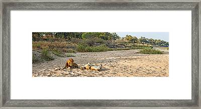 Male And Female Lions Panthera Leo Framed Print by Panoramic Images