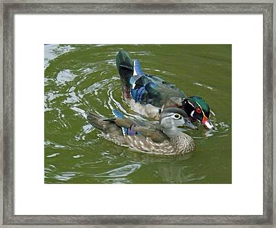 Male And Female Wood Ducks Framed Print