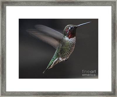 Framed Print featuring the photograph Male Anna Hummingbird In Flight by Jay Milo