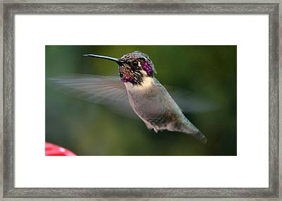 Framed Print featuring the photograph Male Anna's In Flight by Jay Milo