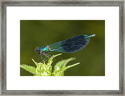 Male Banded Demoiselle Damselfly Framed Print by Bob Gibbons