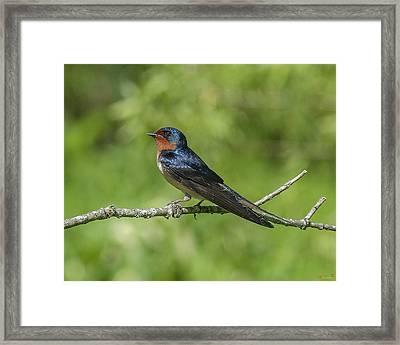 Male Barn Swallow Hirundo Rustica Dsb262 Framed Print
