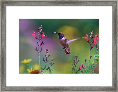Male Black-chinned Hummingbird Framed Print
