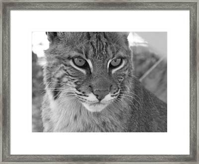 Male Bobcat - Black And White Framed Print by Jennifer  King