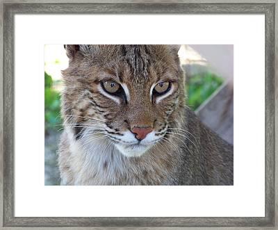 Male Bobcat1 Framed Print by Jennifer  King