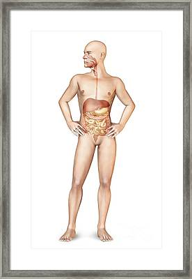 Male Body Standing, With Full Digestive Framed Print by Leonello Calvetti