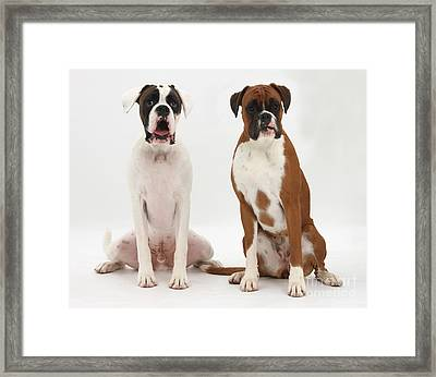 Male Boxer With Female Boxer Dog Framed Print by Mark Taylor