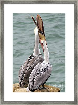 Male Brown Pelican Neck Exercise Framed Print by Darleen Stry