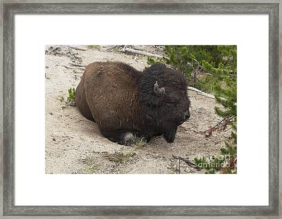 Male Buffalo At Hot Springs Framed Print by Belinda Greb